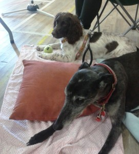Bramble the springer & Rosie the greyhound on their 3rd day out for BAR this year